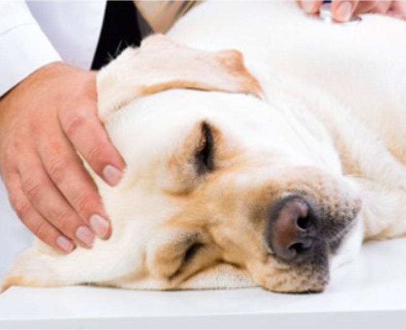 Sinais de doenças cardíacas em pets