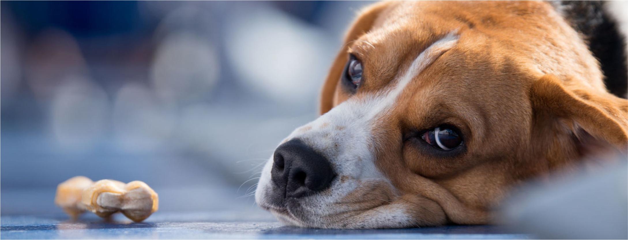 Como manipular um cachorro com dor?