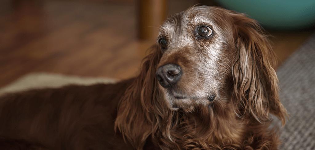 Cuidados no banho e tosa com cachorros idosos